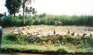 Nach der Reisernte dürfen die Enten ins Feld