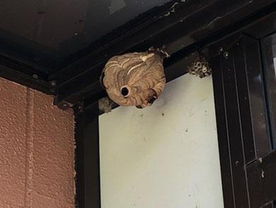 軒下に巣を作ったコガタスズメバチの巣