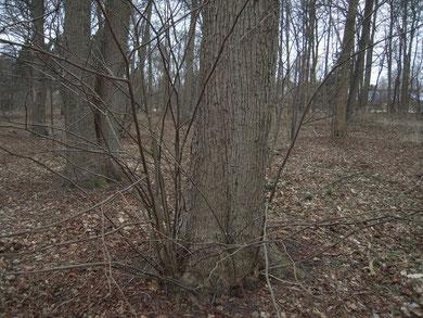 Besonders wertvoll ist der Waldbestand durch den ungewöhnlich hohen Anteil älterer Linden (Vordergrund und links). Zum Vergrößern bitte auf das Bild klicken!