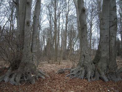 Am Rand des Waldes stehen beeindruckende Altbuchen. Zum Vergrößern bitte auf das Bild klicken!