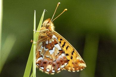 Hochmoorperlmutterfalter. Foto: Wikipedia/James Lindsey