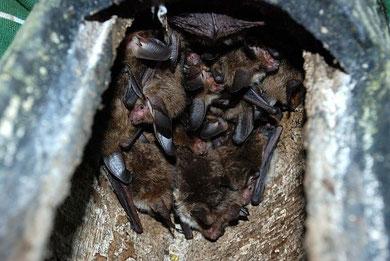 """Eine kleine Sensation: Eine Gruppe von Bechsteinfledermäusen in einem Fledermauskasten im Waldgebiet """"Hölle""""."""