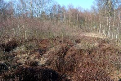 Im Vordergrund ein Teil der Moorheidefläche mit aufwachsenden jungen Birken (im Mittelgrund links), die der Heide das Licht zu nehmen drohen.