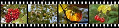 """Herbstliche Vielfalt am Waldrand: U. a. Eberesche, Wildapfel, Hasel und Schneeball sollen am Rand der """"Hölle"""" für ein abwechslungsreiches Nahrungsangebot sorgen."""