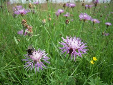 Artenreiche Wiesen bieten Nahrung für viele Insekten.