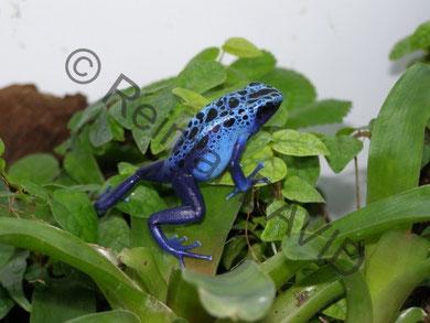 Dendrobates (tinctorius) azureus