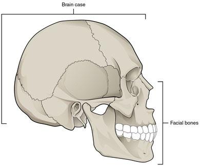 cranium (skull)