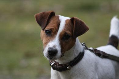PRT vom Glockenhof Welpen Zucht Zwinger PRT vom Glockenhof jagdlich geführte Parson Russell Terrier Zuchthündin Zuchtrüde