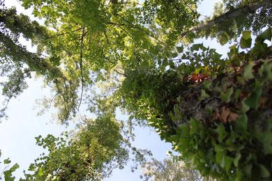 Wald mit Efeu