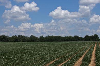 Erdnussfelder so weit das  Auge reicht.