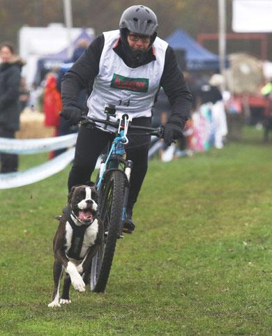 strong dog Boxer Hund vonderwaldnielerheide  Bikejöring