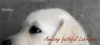 Amazing faithful Labradors