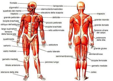 adoro i muscoli