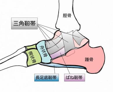 内側足関節靭帯