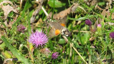 Hummingbird Hawkmoth, Taubenschwänzchen, Macroglossum stellatarum