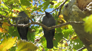 Jackdaw, Dole, Corvus monedula
