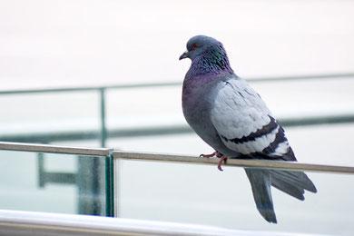Mttel gegen Tauben