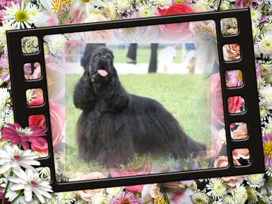 """*ADMIRAL'S SHOU DJ DENNI MORANDO - the Young champion of Ukraine, """"Prince of Spaniels 2010"""" (the image increases on a clique)"""