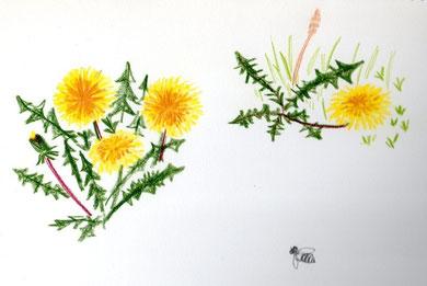 dandelion, Tanpopo
