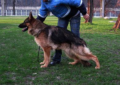 Кевин Нико-Тьюб(Emilio vom Santamar-Ями Украиниан Ланд),11 мес,22.04.11.