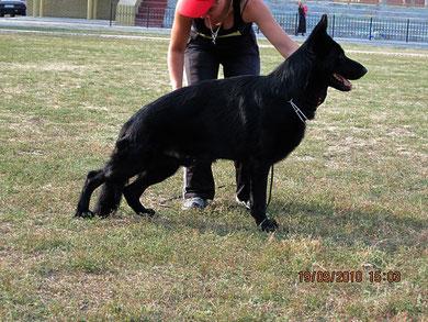 Зильбер Вассерфаль Ярак(Вогерланд Шайтан-Вальд Квелле Амбиция)-победитель класса юниоров из 13 собак