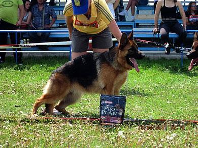 """Зондеркоманда фон Нордэн-4 """"большая перспектива"""" в классе подростков из 10 собак в ринге"""