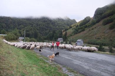 Le troupeau de Jean-Louis Lahourcade aux Forges d'Abel : un matin frisquet !