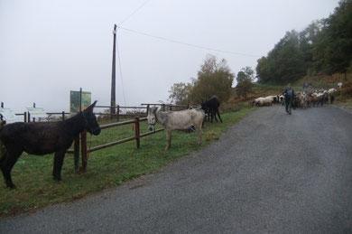 Côté face : le troupeau arrive, les ânes débâtés se rejouissent ! (Cadichon le costaud, Pompon le vénérable porteur honoraire et Sémaphore le cheminot)