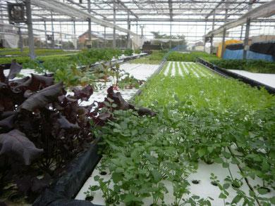 水耕栽培の研究の様子