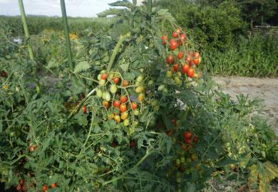トマトが豪快に植わっています。