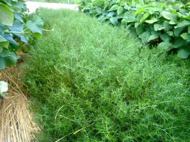 食感が特徴的なオカヒジキ。家庭菜園のグランドカバー的な役割として使えるかも。