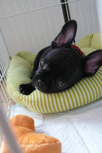 お昼寝しそうなプリオ。内まぶたもトロリとしてキュートだよ>~<♪