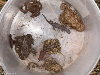 Erd- und Knoblauchkröten sowie ein Kammolch in einem Sammeleimer der Amphibienzaunbetreuung