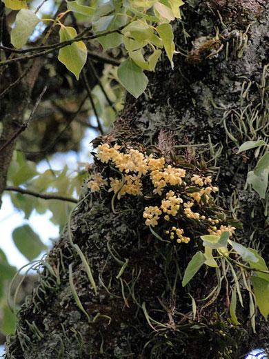 カヤラン こんなにどっさり咲いてるのは初めて見ました。