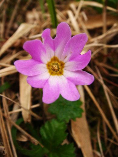 白色部が広い個体。 葯のみ見える短花柱花