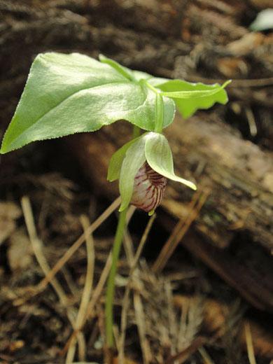 コアツモリソウ 小さくて探すのも困難だ〜沢山自生していて驚いた!感激の貴重な花である