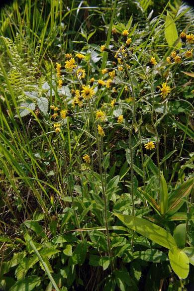 ミヤマコウゾリナ (深山顔剃菜) キク科 コウゾリナ属