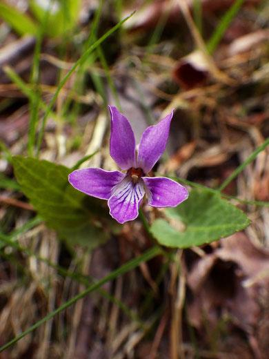 シハイスミレ (紫背菫)