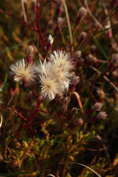 花が終わると冠毛がどんどん伸びて15mmほどになります