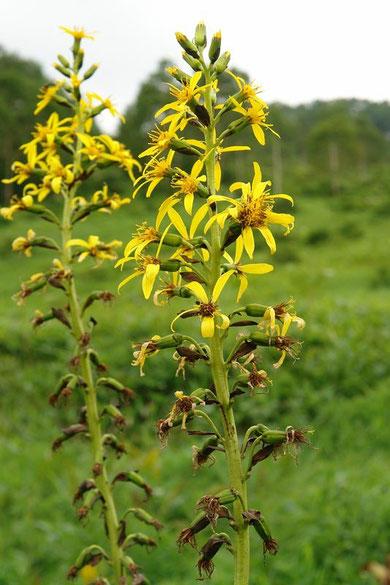 オタカラコウ  Ligularia fischerii