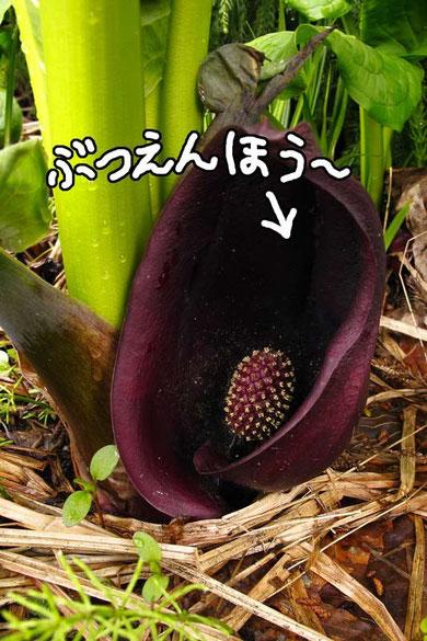 ザゼンソウの仏炎苞と肉穂花序