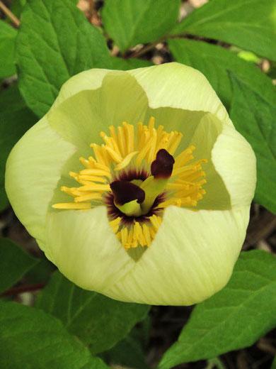 ヤマシャクヤク 豪華な花つややかな顎が美しい