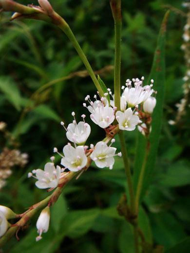 シロバナサクラタデ (白花桜蓼) タデ科