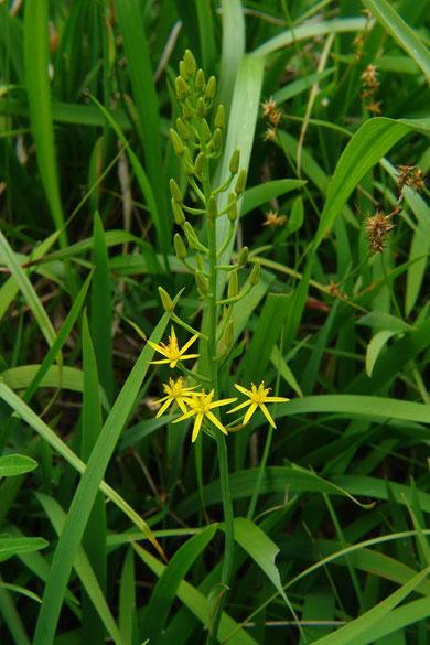 キンコウカ Narthecium asiaticum