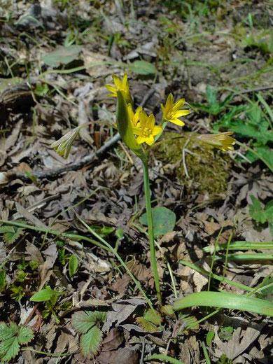 キバナノアマナ 2010.04.25 福島県