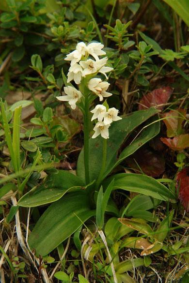 オノエラン (尾上蘭) ラン科 ハクサンチドリ属