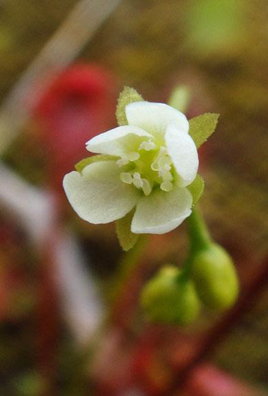 モウセンゴケ  Drosera rotundifolia