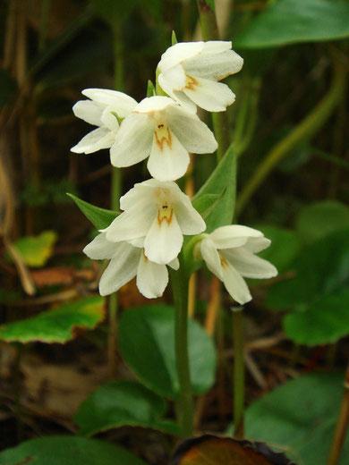 オノエラン Orchis fauriei