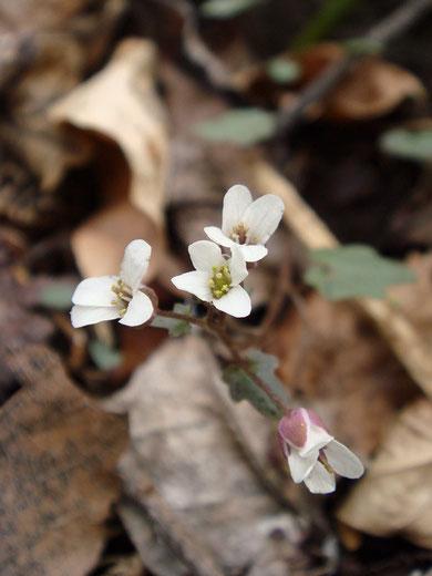 ユリワサビ (百合山葵) アブラナ科 ワサビ属