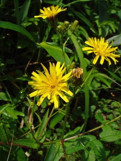 コウゾリナ  Senecio nemorensis